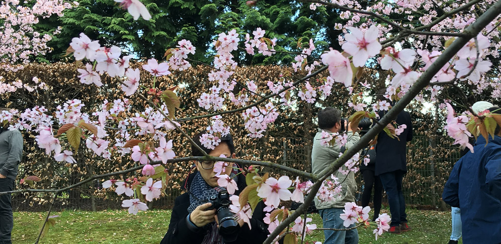 Cherry Blossom viewing in Berlin 2019